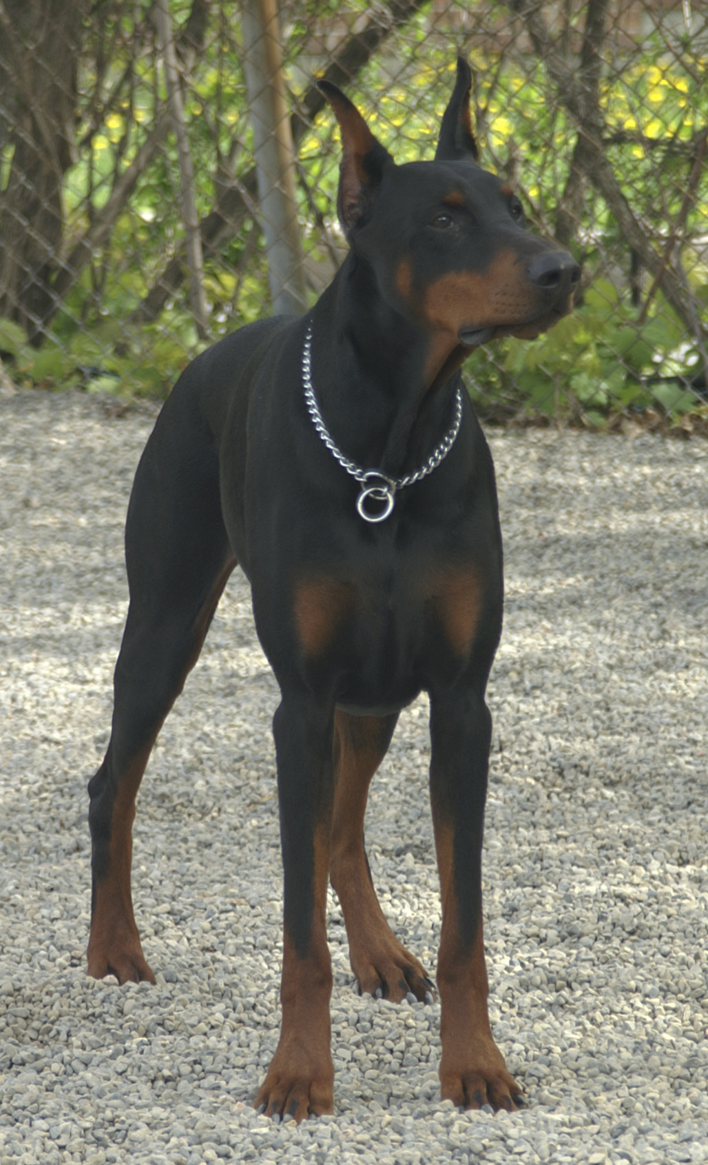 Doberman Greyhound Mix