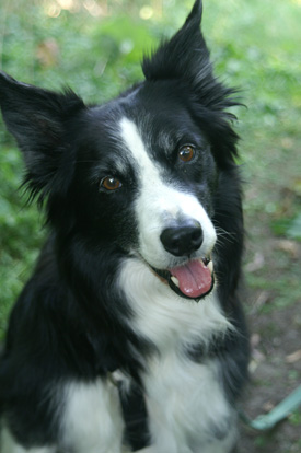 Border Collie - Taiga